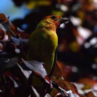 Western Tanager by Richard Thomas