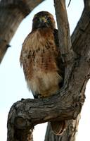 Relaxed Red Tail Hawk