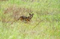 Wild Coyote In The Bush
