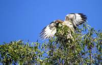 Red Tail in the Treetop