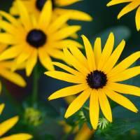 Black-Eyed Susan Flowers in Garden by Karen Adams