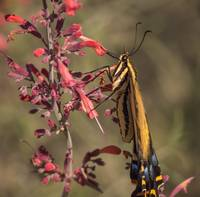 Swallow-Tail Butterfly 3