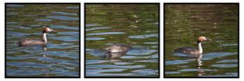 Great Crested Grebe Triptych