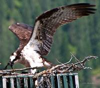 Osprey feeding young