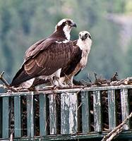 Osprey Parents