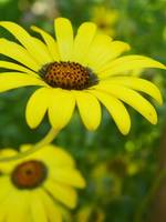 Yellow African Daisy