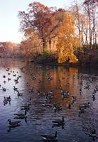 Fall Geese on Conine's Mill Pond