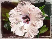 Pink Hibiscus by Giorgetta Bell McRee