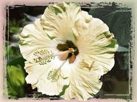 Pale Yellow Hibiscus by Giorgetta Bell McRee