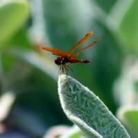 Orange Dragonfly on Lamb's Ear leaf by Karen Adams