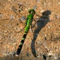 Green Dragonfly by Karen Adams