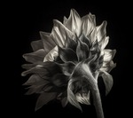 Sunflower Study In Black and White III Posters