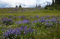 Olympic Mountain Lupine