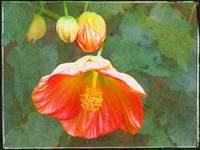Chinese Lantern Flower by Giorgetta Bell McRee