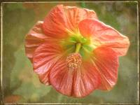 Flowering Maple Bloom by Giorgetta Bell McRee