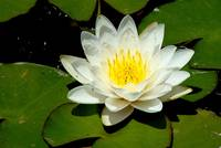 White Lily Pond Flower