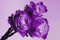 Purple Rose Trio