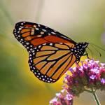 Monarchs gallery