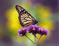 Butterfly Monarch Lepidoptera