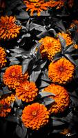Orange Magellan Flowers