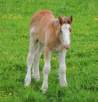 Foal Shire Horse