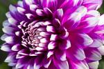 "Dahlia Art Print: ""Summer Love"""