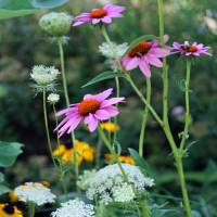 """Purple Coneflowers in Garden"" by KsWorldArt"
