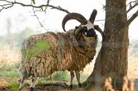 Jacob's Four-horned Sheep