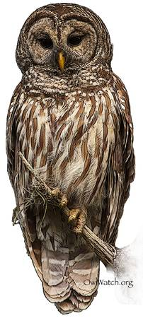 Barred Owl 8630