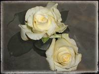 White Roses by Giorgetta Bell McRee