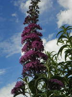 Into the Sky Butterfly Bush