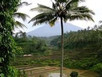 Mount Agung with the Coconut Tree