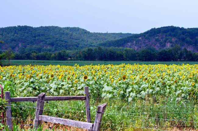 Sunflowers & Mountain View