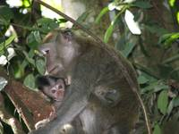 Mama Monkey with the Baby