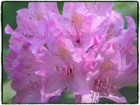 Rhododendron by Giorgetta Bell McRee