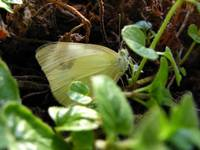 White and Yellow Butterfly