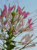 Cleome Spinosa Violet Queen