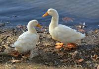 Two White Ducks Sharing a Moment