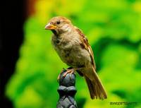 Portrait of A Juvenile House Sparrow