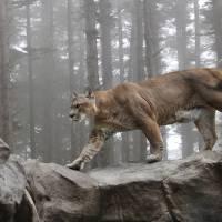 Mountain Lion by Roger Dullinger