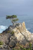 The infamous Naked Cypress, Monterey, CA