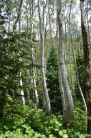 Bent Aspen Trees, West Vail, Colorado