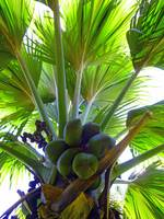 Double Coconut palm