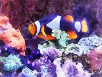 Clownfish and Coral