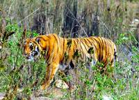 Royal Bengal Tiger in the Wild