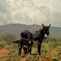 Wild Burros in the Desert by I.M. Spadecaller