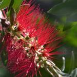 """Bottlebrush Flower"" by theblueplanet"