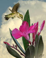 Pink Oleander and Hummingbird