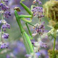 Praying Mantis by Karen Adams