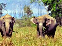 Domestic Asian Elephants in the Wild